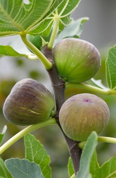 Higos , Frutas