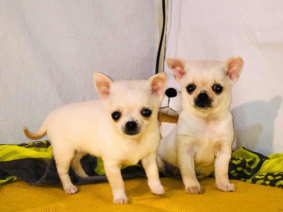 Chihuahuas Micro Minis Blancos