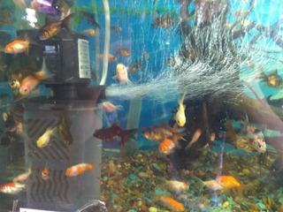 Peces Carassius Surtidos N1 1 Cm Criadero Aquamundo