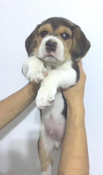 Cachorro Beagle Tricolor