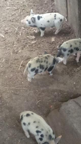 Mini Porco Filhotes