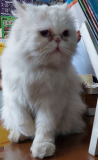 Gato Himalaya Blanco Ojos Color Azules