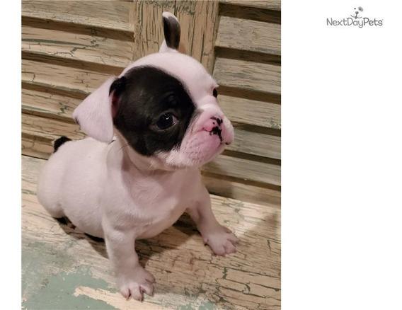 Hermosos Cachorros De Bulldog Francés Disponibles