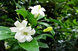 1 Planta De Jazmin Trepador, Flores Perfumadas, Blancas
