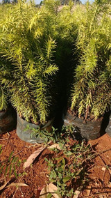 Mudas De Pinheiro Araucaria (pinhao) 10 Unidades