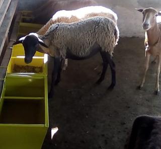 Fabricación De Comederos Para Ovejos Y Cabras