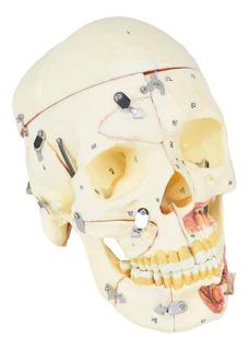 Cranio Humano Adulto C/ Mandibula Vasos Nervos Em 10 Partes