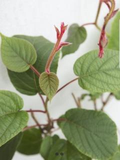 Plantines Frutales De Kiwi