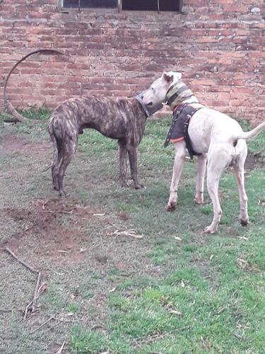 Compro Perro Para La Caza De Jabalies De Presa Y Rastro