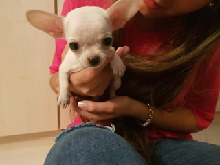Hermosa Cachorra Chihuahua Cabeza De Manzana Miniatura
