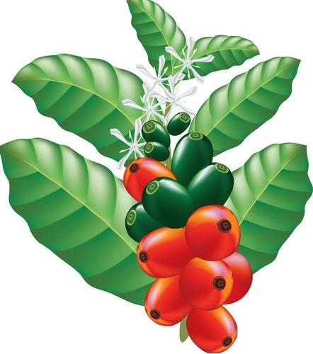 Imagem 1 de 10 de 40 Sementes Café Arábica Resistente À Seca Pragas E Doenças