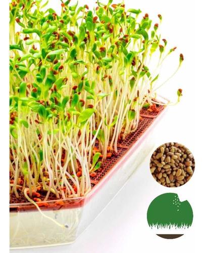 Imagen 1 de 4 de Semillas Alfalfa Naturales- Germinar Brotes Alimento Sembrar