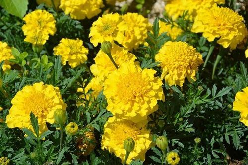 65 Semillas Orgánicas De Flor Clavelturco