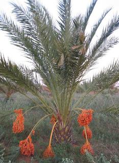 Mudas De Tamareira - Phoenix Dactylifera