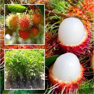 Arbol De Rambutan Injertado-exotico-super Dulce-