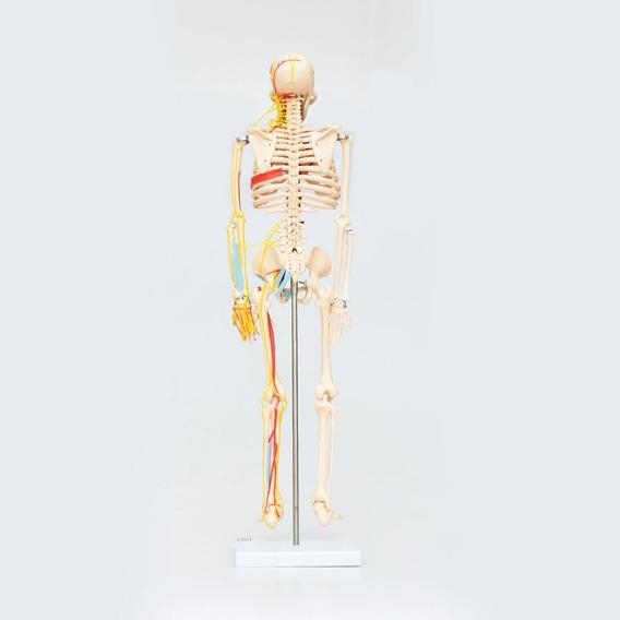 Esqueleto Humano 85cm Modelo Anatómico Zeigen Educación