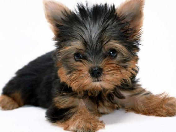 Cachorros Yorkshire Mini Y Otras Razas.