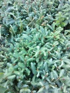 Pino Douglas 3x$210 Pesos (pseudosuga) Árbol Raro
