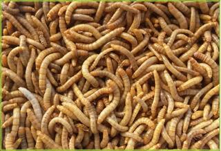 Tenebrios X100 Molitor Alimento Vivo Peces Geckos Erizos Etc