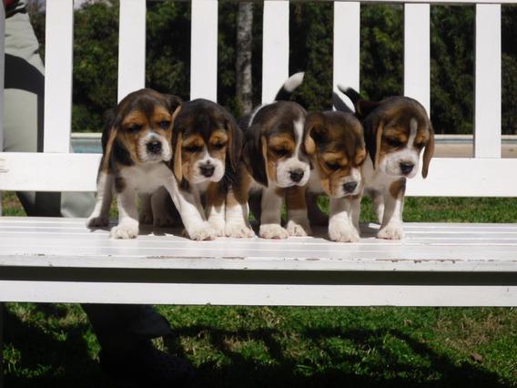 Cachorros Beagle Para El Dia Del Niño