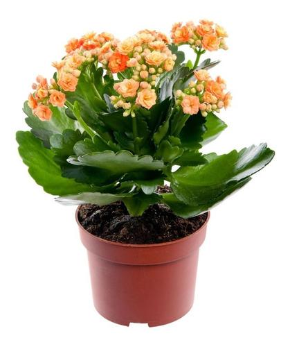 Sobre Para Sembrar 15 Plantas Crasas Florales De Kalanchoe