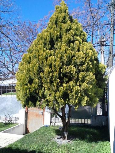 Imagen 1 de 4 de Vendo Arbol Pino Grande Con 9 Años.mide 4,5metros
