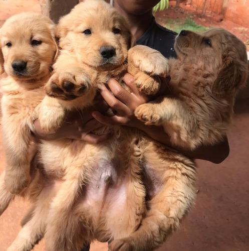 Imagem 1 de 4 de Filhote De Golden Retriever