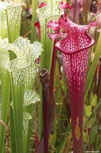 Sarracenia Plantas Carnívoras Rizomas Adultos De 2 A 5 Años