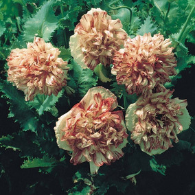 5 Sementes De Lindas Peonias Poppy Flemish Antique V.cores*