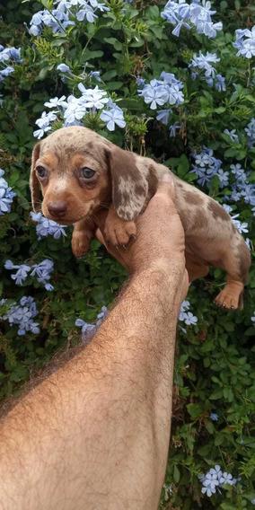 Cachorros Salchichas Mini Arlequínes