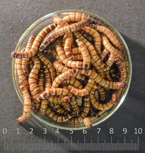 Zophobas, Gusano Rey, Tenebrio Gigante, Zofoba, Insecto