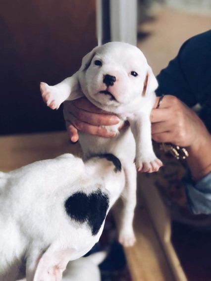 Staffordshire Bull Terrier Filhotes