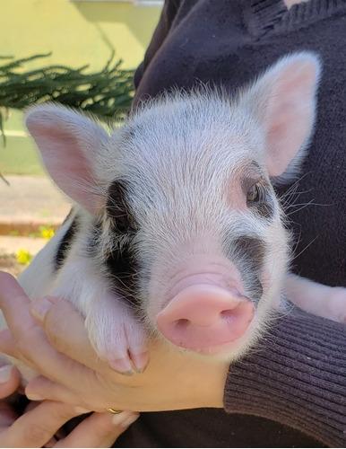Mini Pig Original. Micro Pig. Mini Porco