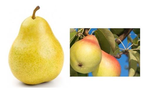 Árbol Frutal Peral Pera William Francesa