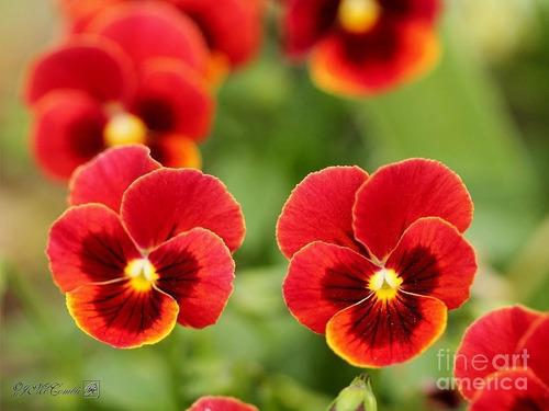 160 Semillas Flor Pensamiento Rojo + Obsequio Germinación
