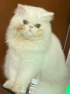 Gato Persa, Hermosos Gatitos