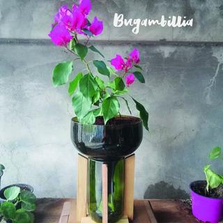 Buganvilla Little Plant 32 Con Soporte, Maceta Autorregante