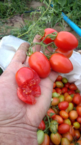 100 Sementes De Tomate Italianinho.