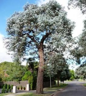 Semillas De Eucalipto Dollar (eucalyptus Cinerea)