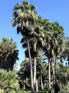 Plantula De Palma De Taco (brahea Brandegeei)