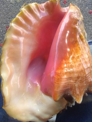 Imagen 1 de 3 de Caracoles De Mar