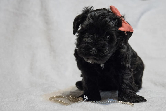 Schnauzer Mini Negros Cachorros Con Cucha.