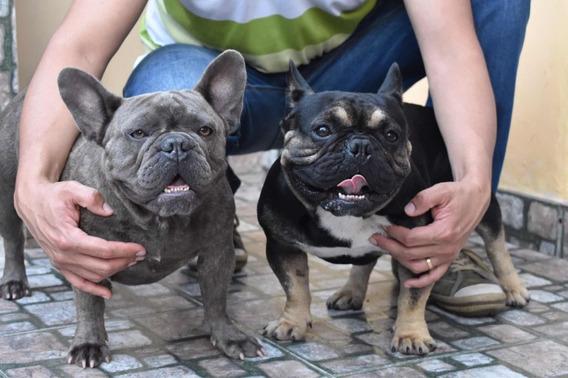 Bulldog Francés Black And Tan, Servicio Stud, Blue/lilac