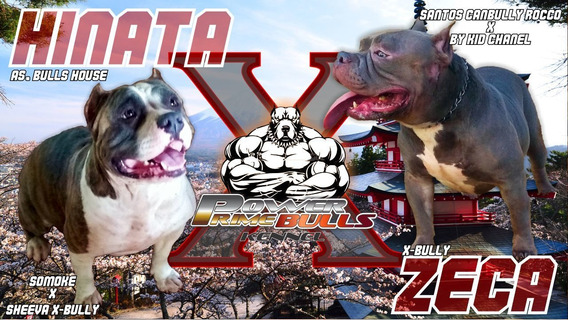 Filhotes De American Bully Pocket Com Excelente Pedigree.