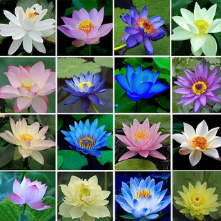 10 Semillas Auténtica Flor Loto Sagrada Planta Agua + Guía