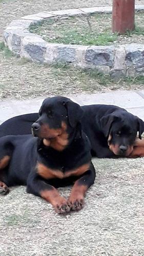 Imagen 1 de 5 de Cachorros Rottweiler