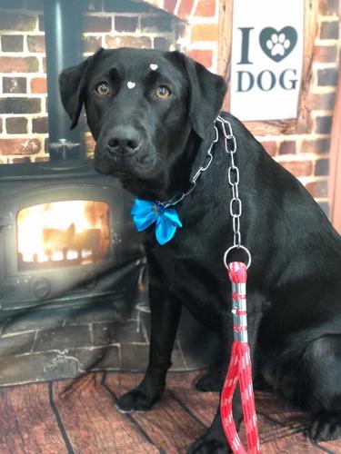 Imagem 1 de 3 de Labrador Para Doação