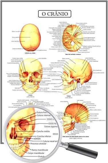 Mapa Poster Resumo Anatomia Medicina O Crânio 45x60 Cm