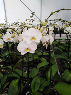 Orquidea Phalenopsis Variascdmx Y Texcoco Otro Edo A Tratar