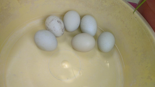 Huevos Verdes Fertiles